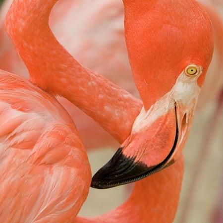 Phoenicopterus-Ruber-or-American-Flamingo-Pic-©-Lagos-Zoo-Portugal