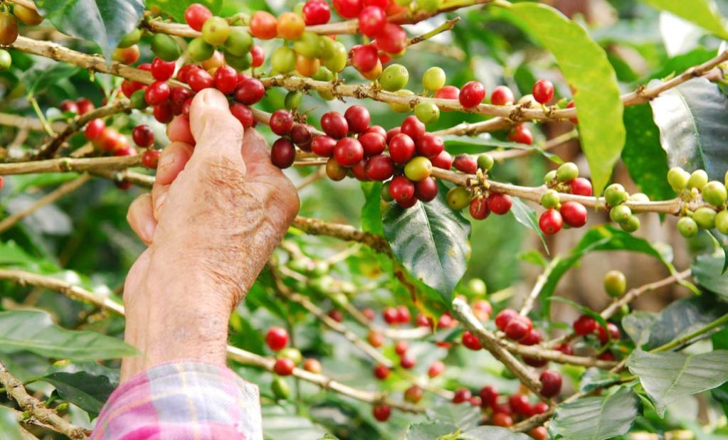 Coffee Plantation in Coorg