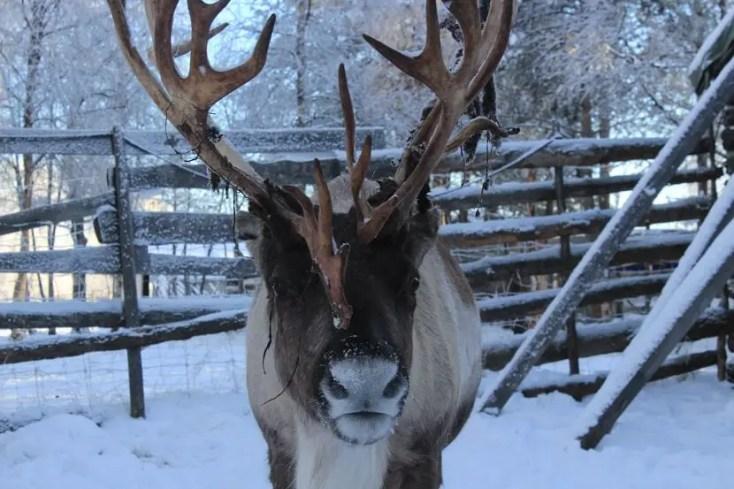 ren Kiruna Laponia Suedeză