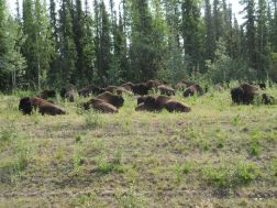 Wood bison herd