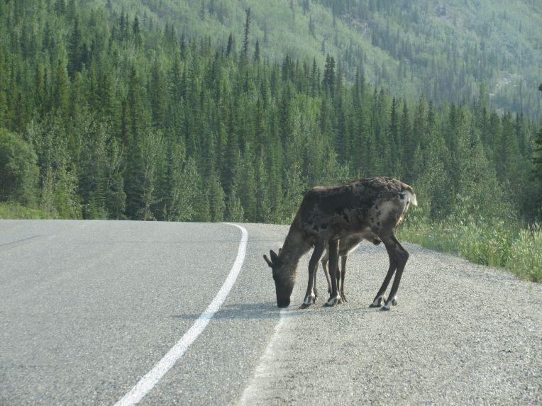 Elk and baby legs