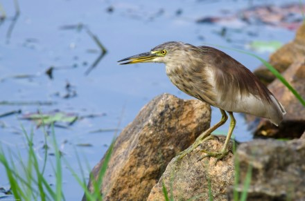 Pond Heron At Hesaraghatta Lake Bangalore