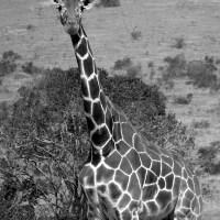 Glorious Giraffe
