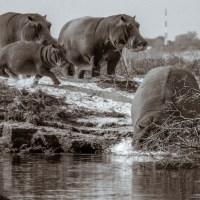 Hippos Ahoy