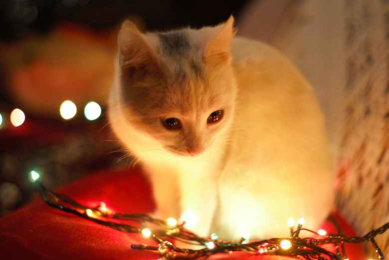 close up photography of white cat besides christmas lights