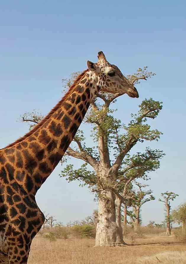 Giraffe, Bandia Nature Reserve, Senegal