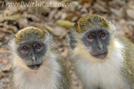 Gambia wildlife, Green vervet mokeys