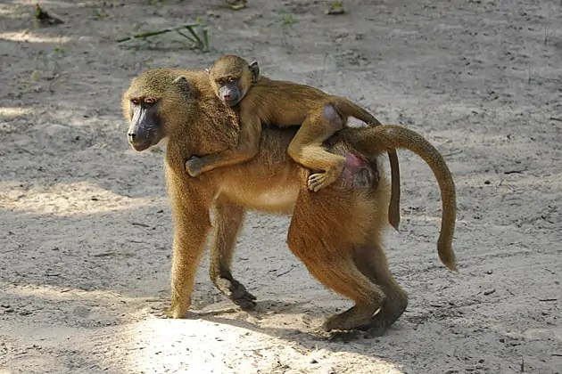 Female baboon with her young