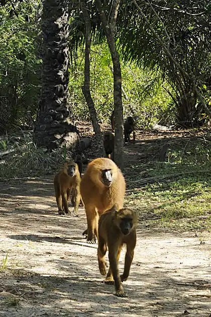 Gambia Baboon Facts, Makasutu
