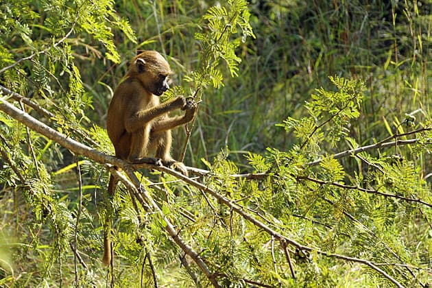 Gambia Baboon Facts, Makasutu Forest