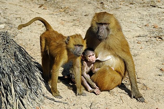 Guinea baboons (Papio papio)