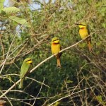 From blue-bellied rollers to little bee-eaters