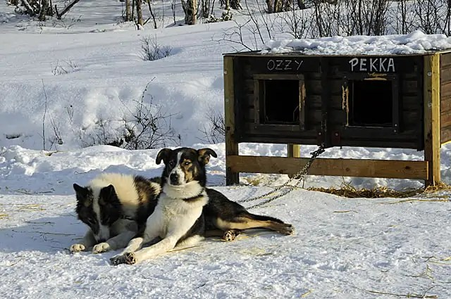 Husky dogs, Norway, Arctic
