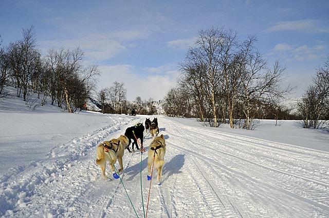 Husky dog sledging, Norway