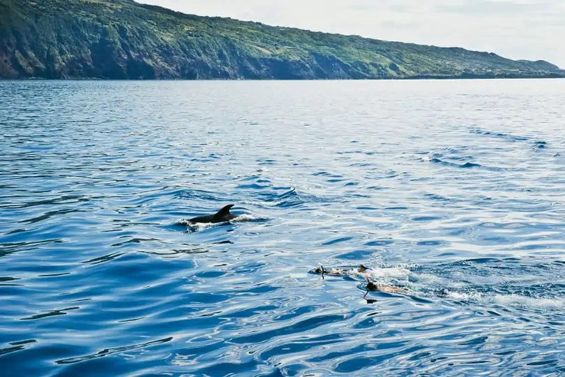 Boys swimming with the dolphins near the shore in Pico island, Azores, Portugal