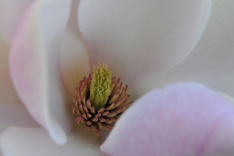 Magnolia blossom, Kew Gardens, London