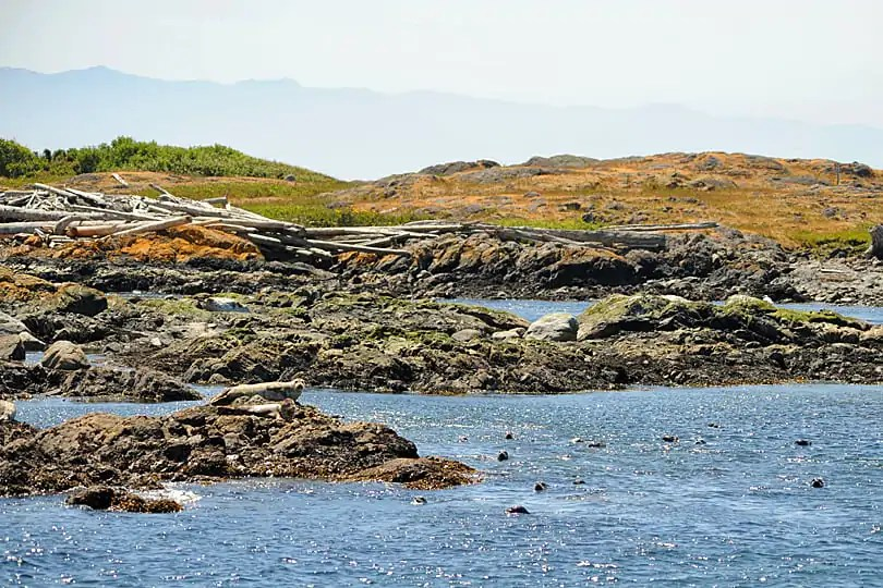 Harbour seals near Discovery Island, British Columbia, Canada