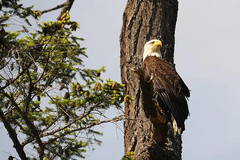 Baldheaded Eagle, British Columbia