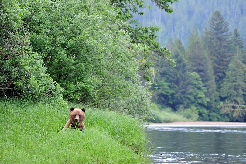 Grizzly bear watching, the Great Bear Rainforest, British Columbia, Canada
