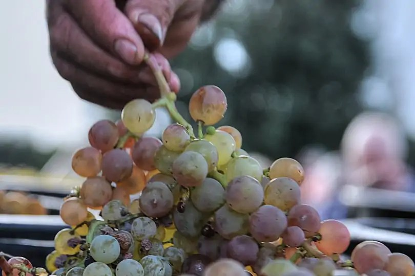 Sweet white grapes grown in teh vineyards around Locorotondo, Puglia, Italy