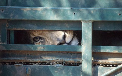 BLOOD LIONS – Call to ban trophy hunting of captive lions