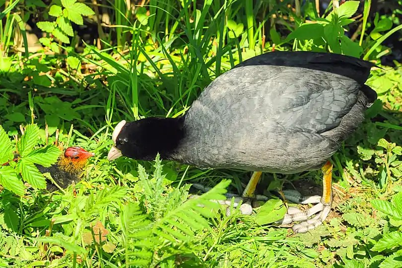 Mother and young Coot at the Arundel Wetland Centre, West Sussex, England