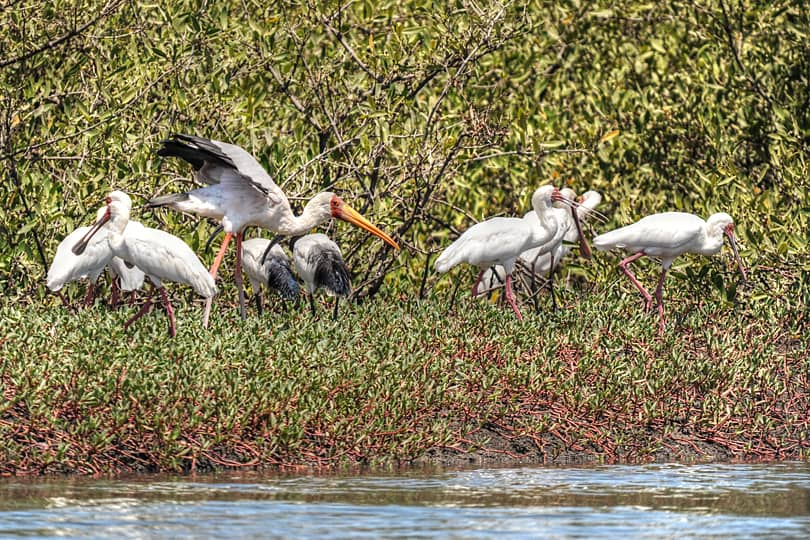 Spoonbills, Yellow-billed Stork and Sacred Ibis, The Gambia
