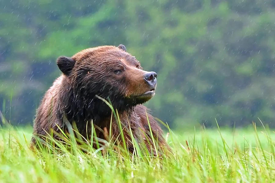 A grizzly bear in the Great Bear Rainforest, Canada