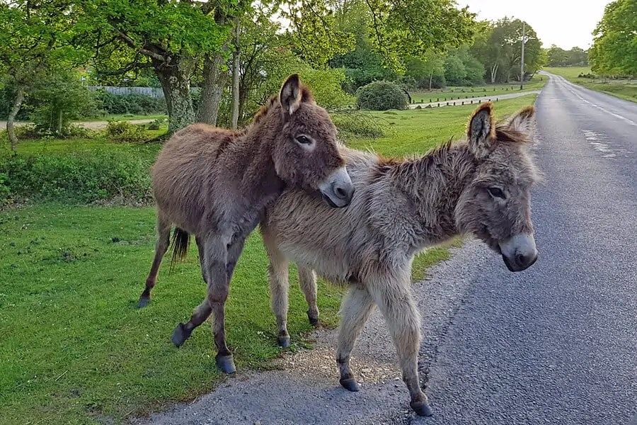 Donkeys in the New Forest, Hampshire, Enhgland