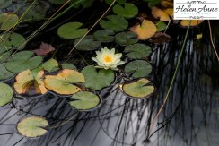 Lily on the pond!