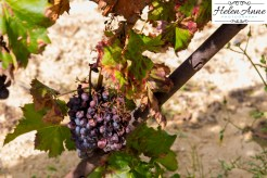 There were still a few bunches of grapes on the vines after harvest.