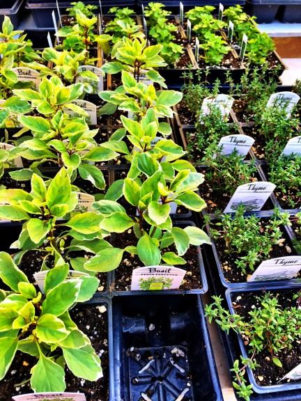 Herbs for the garden