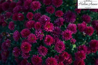 Love the red mums!