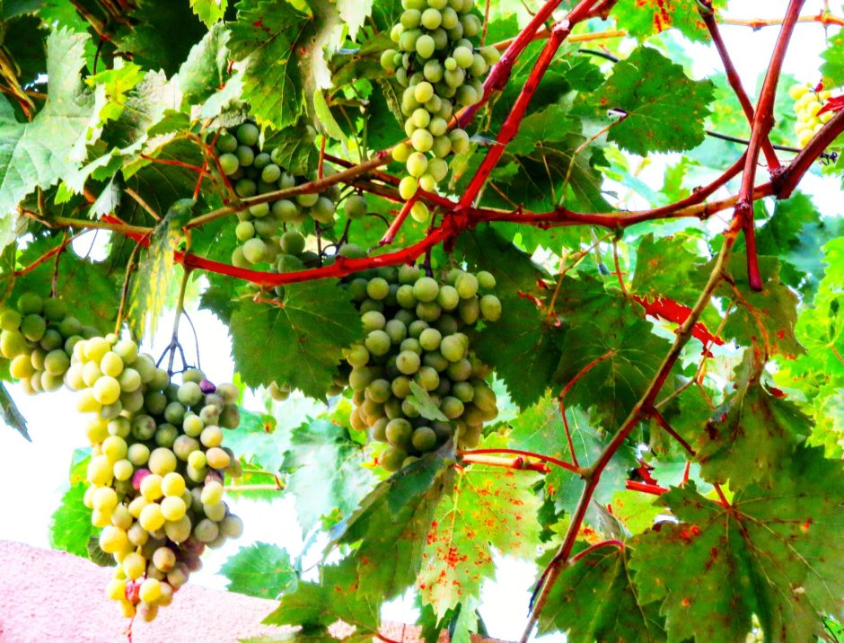 Grapes from Georgia