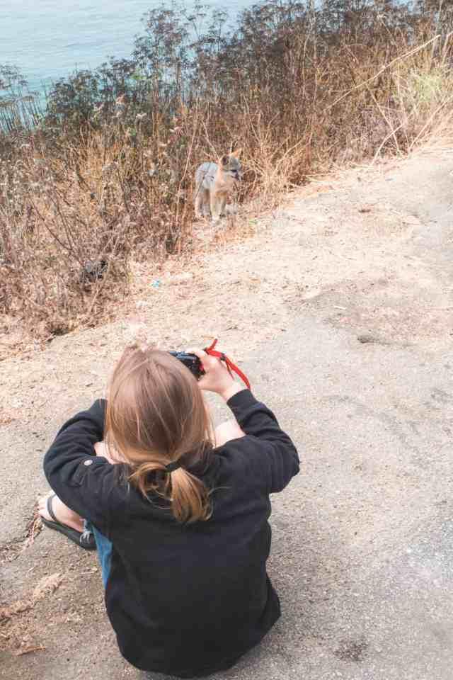 Coyote - Wildlife - Big Sur - Higway 1 - California - USA