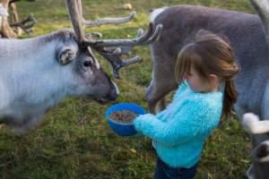 Feeding Reindeer in Finland