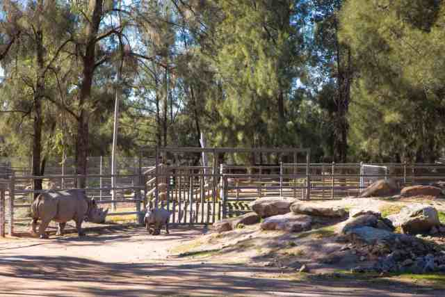 Travel With Meraki- Taronga Western Plains Zoo Dubbo Australia Black Rhino Calf