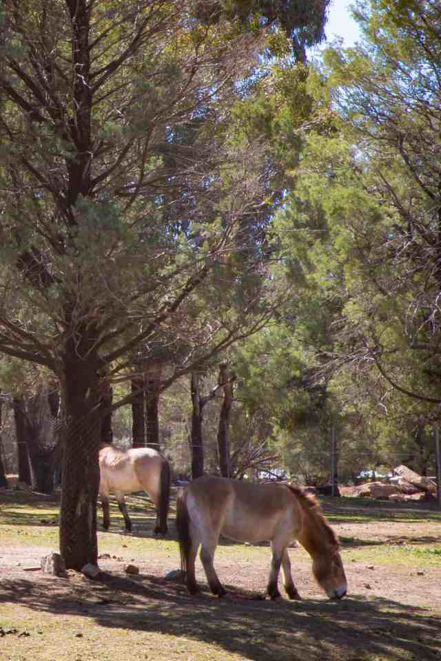 Travel With Meraki- Taronga Western Plains Zoo Dubbo Australia Przewalski's Horse