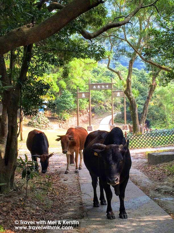 Water Buffalos on Lantau Island, HK © TravelwithMK.com