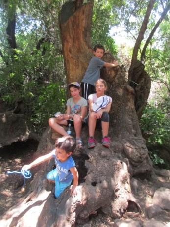 עץ פו הדב בשמורת תל דן