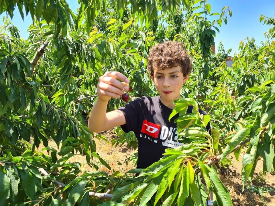 קטיף דובדבנים בצפון רמת הגולן ליד הכפר בוקעתא