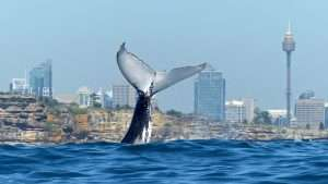 Whale tail with the gorgeous Sydney Harbour in the background