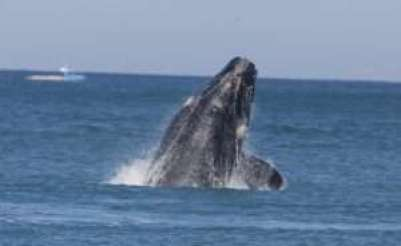 Whale Watching at Port Fairy