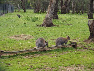 Wallabies at Phillip Island