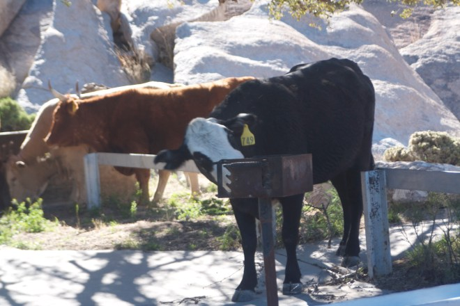 Cows joining us for breakfast
