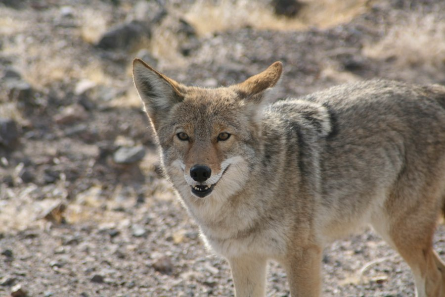 untitled-coyote.jpg