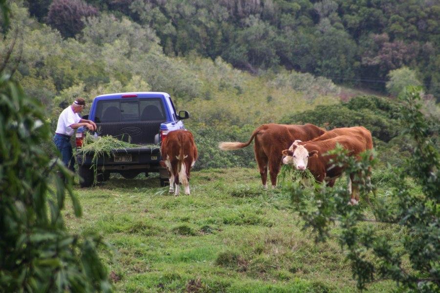 CowsIMG_2692.jpg