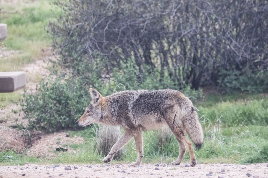 Coyote1-4M9A1024.jpg