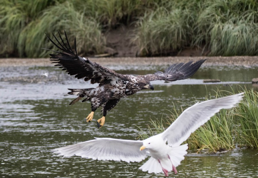 Eagle11.jpg