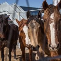 Cows or Horses Smarter? - Apr 2018